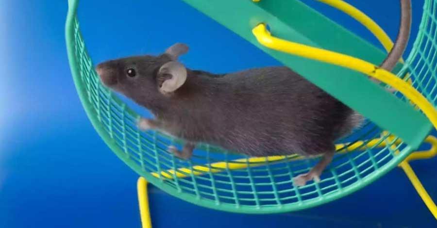 corrida de ratos